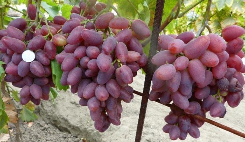 Грозди винограда Полонез