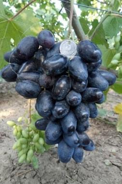 Виноград Рембо