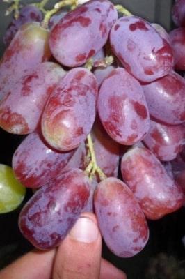 Виноград Урум