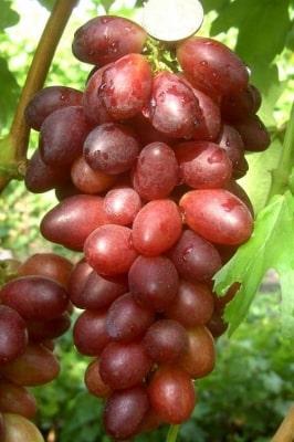 Виноград Монтидор