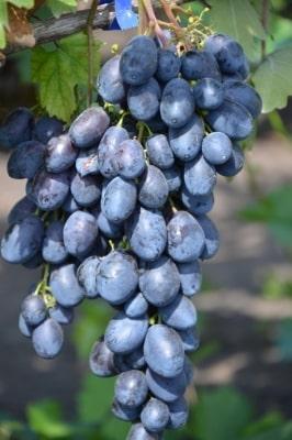 Виноград Черный хрусталь