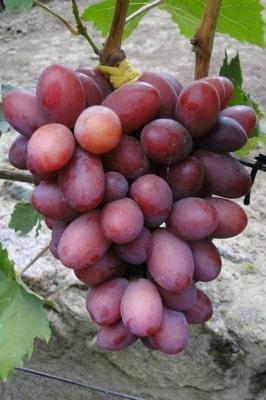 Виноград Фаэтон