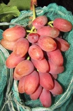 Виноград Богема