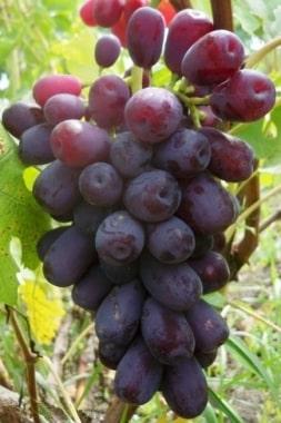 Виноград Найден