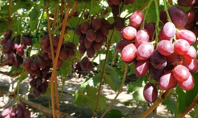 Первые грозди