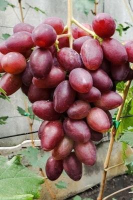 Виноград Гусар