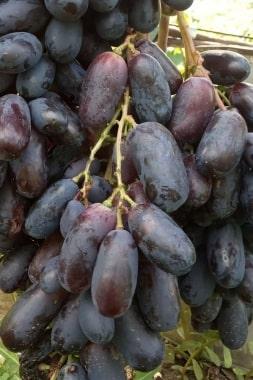 Виноград Отелло