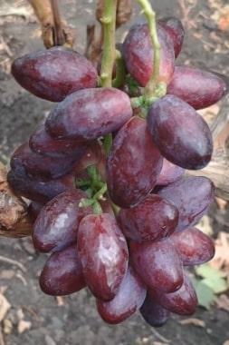 Виноград Красная пуля (Сюзанна)