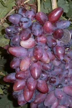 Виноград Данилка