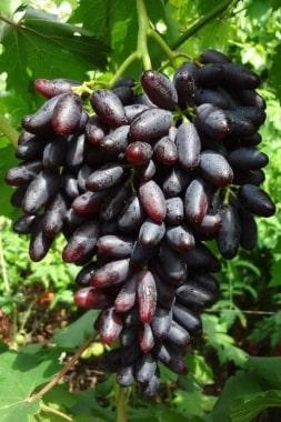 Виноград Аркас