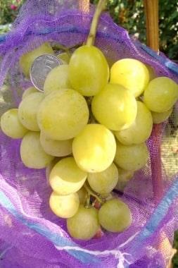 Виноград Хелена