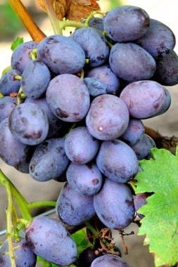 Виноград Пегас