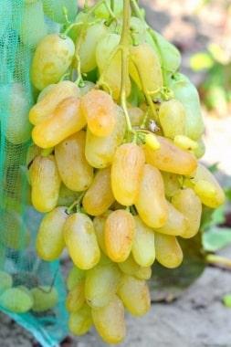 Виноград Гордей