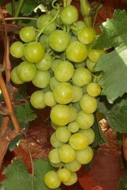 Виноград Прима Украины