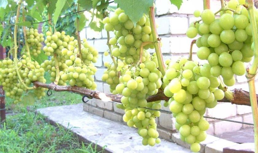 Урожай Примы Украины