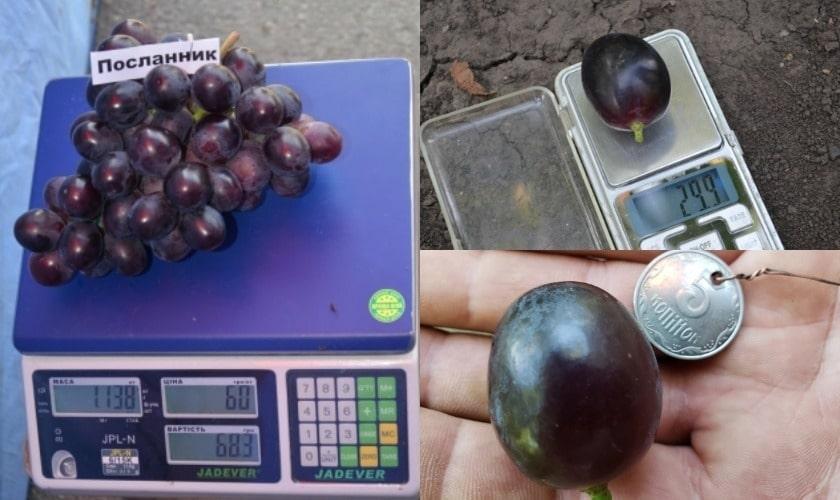 Ягода и гроздь Посланника