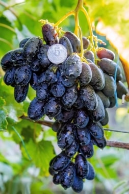 Виноград Натали