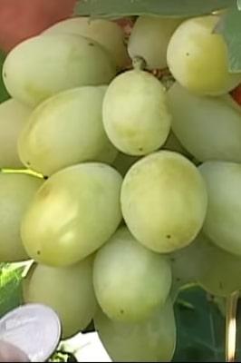 Виноград Взлетная полоса