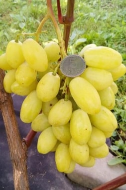Виноград Бананас