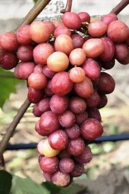 Виноград Дынька