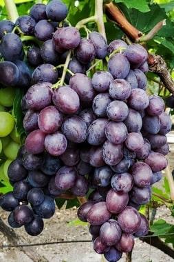 Виноград Брависсимо