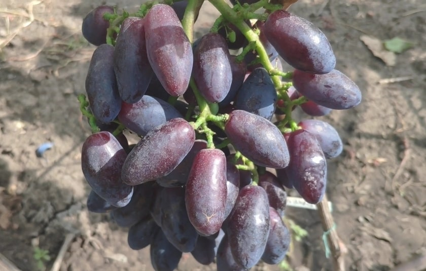 Брависсимо гроздь
