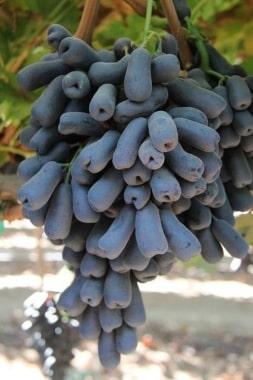 Виноград Капли луны