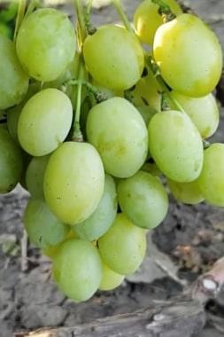 Виноград Балтимор