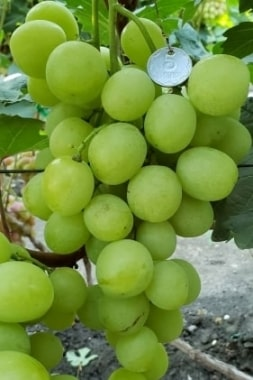 Виноград Индиана