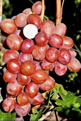 Виноград Соперник