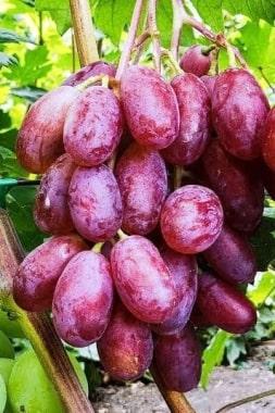 Виноград Розмалин