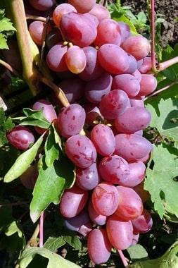 Виноград Пальмира