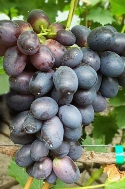 Виноград Кумир