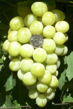 Виноград Джина