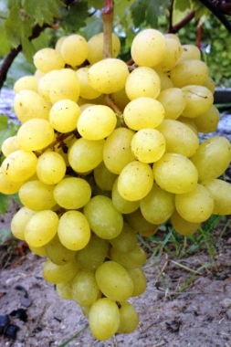 Виноград Красавчик