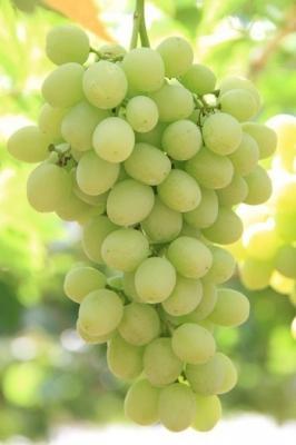 Виноград Киш-миш Рататуй