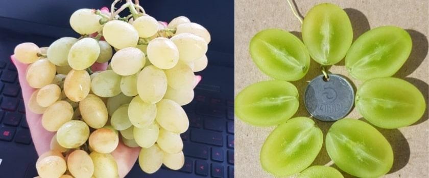 Ягода винограда Рататуй