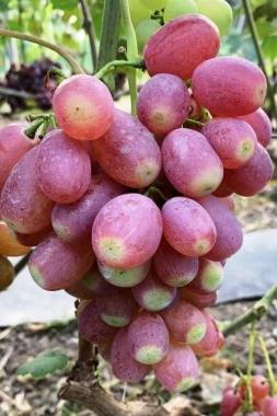 Виноград Басанти