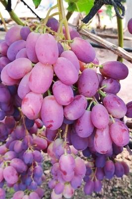 Виноград Зоренька
