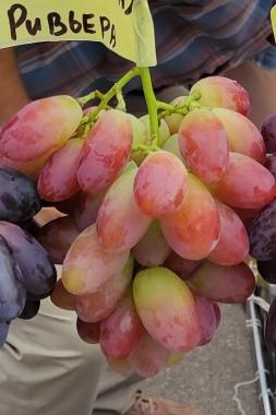 Виноград Днепровская ривьера