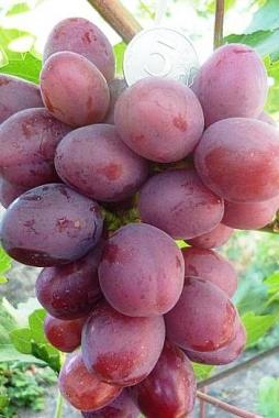 Виноград Ирис