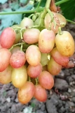 Виноград Фаберже