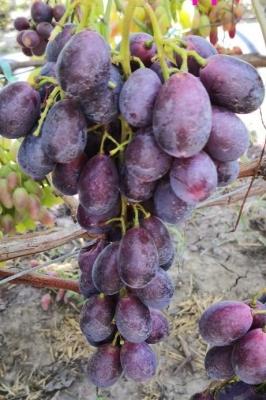 Виноград Энергодар