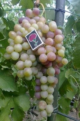 Виноград Кон-тики