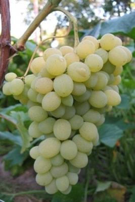 Виноград Элегант-сверхранний