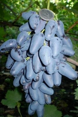 Виноград Памяти Нгруля