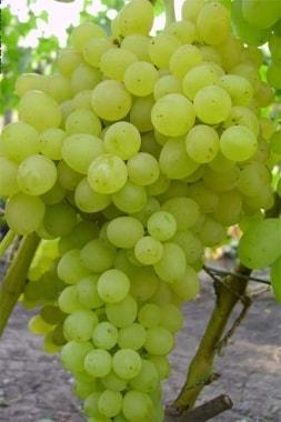 Виноград Киш-миш Кеша