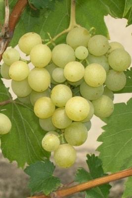 Виноград Галбена Ноу