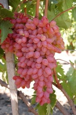 Виноград Мечта