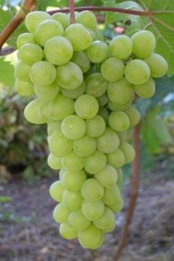 Виноград Прозрачный